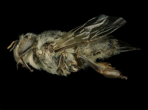 Gallery | Exotic Bee ID